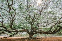 Giant rain tree in karnchanaburi,Thailand Royalty Free Stock Photo