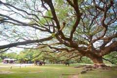 Giant rain tree Stock Images