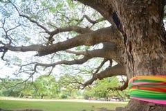 Giant rain tree Royalty Free Stock Photo