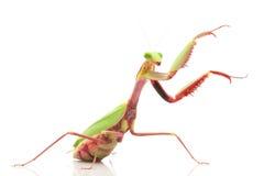 Giant Rainforest Mantis Royalty Free Stock Photo