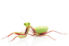 Giant Rainforest Mantis Royalty Free Stock Images
