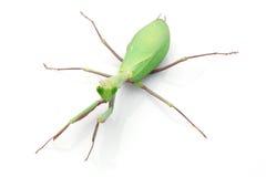 Giant Rainforest Mantis. (Hierodula majuscula) isolated on white background Stock Image