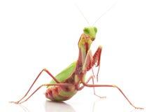 Giant Rainforest Mantis. (Hierodula majuscula) isolated on white background Stock Photo