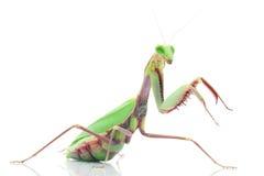 Giant Rainforest Mantis. (Hierodula majuscula) isolated on white background Stock Images