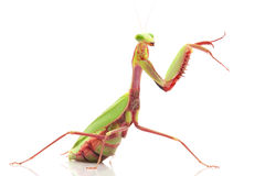 Giant Rainforest Mantis Royalty Free Stock Photography