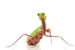 Giant Rainforest Mantis. (Hierodula majuscula) isolated on white background Royalty Free Stock Photo