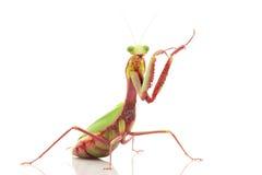 Giant Rainforest Mantis. (Hierodula majuscula) isolated on white background Royalty Free Stock Photos