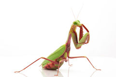 Giant Rainforest Mantis Royalty Free Stock Image