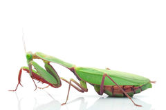 Giant Rainforest Mantis. (Hierodula majuscula) isolated on white background Stock Photos