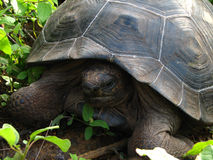 Giant rare galapagis tortoise in the wild. Its rare to capture of of these giant tortoises in the wild on the remote island of isabela in the galapagos Stock Photography