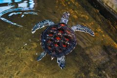 Giant rare turtle with red dot shield in the water royalty free stock images