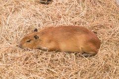 Giant Rat or Capybara Stock Photo