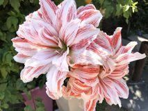 Free Giant Red And White Striped Amaryllis Double Hippeastrum, Dancing Queen Flowers. Royalty Free Stock Images - 134746989