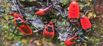 Giant red bug Stock Photography