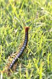 The Giant red Centipede dangerous animal in the Garden. The Giant red Centipede dangerous animal in the nature Garden stock image