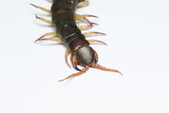 The Giant red Centipede dangerous animal on white background. Close up The Giant red Centipede dangerous animal on white background Stock Photos