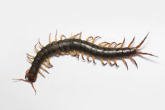 The Giant red Centipede dangerous in the Garden. The Giant red Centipede dangerous in House and Garden stock photo