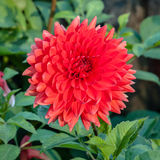 Giant Red Dahlia Cultivar Blooming in Garden Royalty Free Stock Photo