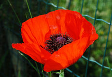 Free Giant Red Poppy Stock Photography - 79566572