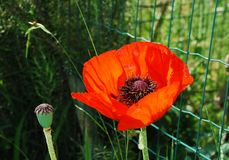 Giant Red Poppy Stock Images