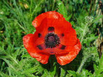 Giant Red Poppy Royalty Free Stock Image