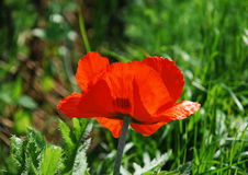 Giant Red Poppy Royalty Free Stock Images