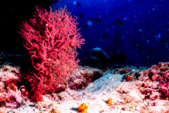 Giant Red Sea. Fan Coral Royalty Free Stock Image