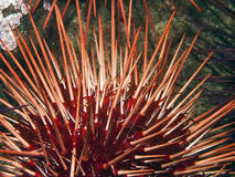 Giant Red Sea Urchin Stock Image