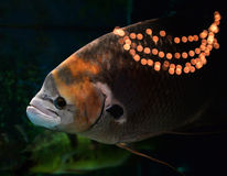 Giant red tail gourami Stock Images