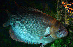 Giant red tail gourami Stock Photos