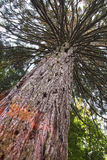 Giant redwood Stock Image