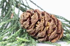 Giant redwood cone on shoots stock images