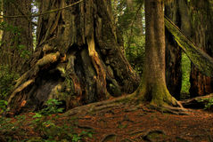 Giant Redwood in a Forest. Royalty Free Stock Images