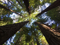 Giant redwood forests in Rotorua North Island New Zealand royalty free stock image