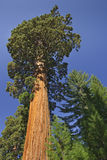Giant Redwood Tree Royalty Free Stock Images