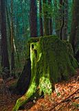 Giant redwood tree moss covered stomp. Northern California royalty free stock photo