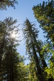 Giant Redwood tree, photo looking up at the tree, in Redwood National Park in Lady Bird Johnson Grove in Northern California, with. A bright blue sky stock photos