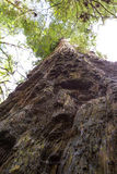 Giant redwood Royalty Free Stock Photography