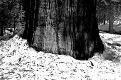 Giant Redwood Tree Trunk. Giant redwood tree in Mariposa National Park, in black and white royalty free stock photos