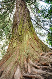 Giant Redwood Tree Royalty Free Stock Photos