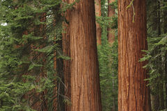 Giant Redwood Trees. In Sequoia National Park, CA Royalty Free Stock Image