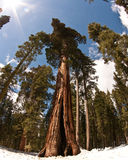 Giant Redwood Trees. In Mariposa National Park shot with fish eye to get sunburst and angle royalty free stock photo
