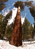 Giant Redwood Trees. In Mariposa National Park shot with fish eye to get sunburst and angle royalty free stock photography