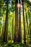 Giant Redwood Trees, California. The sun looks like a star shining through the tall redwood trees of California, looking primeval with rugged bark trunks amid royalty free stock photo