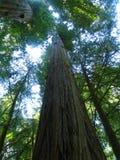 Giant Redwood Trees stock photo