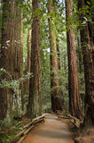 Giant redwood trees in Muir Woods, California. A path stretches through the Giant Redwood forest Royalty Free Stock Image
