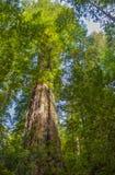 Giant Redwood Trees Royalty Free Stock Photos