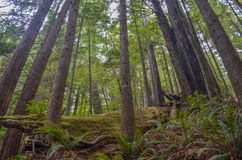 Giant Redwood Trees Royalty Free Stock Photography