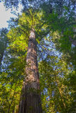 Giant Redwood Trees Stock Images