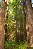 Giant redwood trees. In northern California royalty free stock images